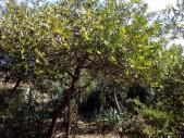Le mimosa-chenille apres la tempete