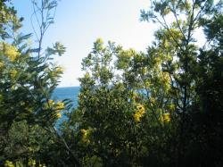 La vue sur la merà travers le rideau de mimosas sauvages